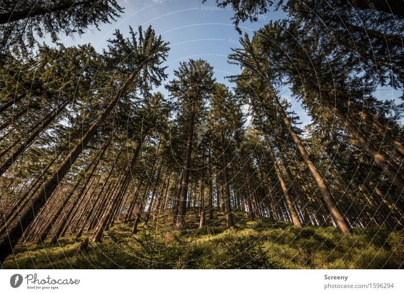 In the land of tree giants Nature Landscape Plant Sky Cloudless sky Sunlight Spring Beautiful weather Tree Bushes Moss Wild plant Forest Growth Large Tall Blue