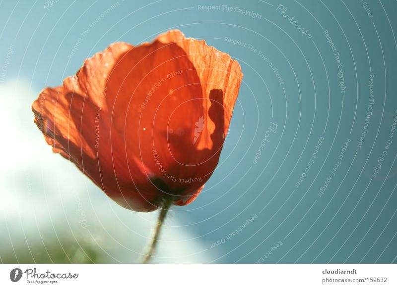 Flower Plant Red Summer Blossom Delicate Blossoming Poppy Transparent Cornfield Poppy blossom Margin of a field