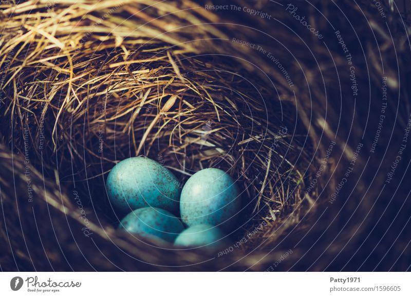 blackbird's nest Easter Nature Animal Bird Blackbird Egg Bird's eggs Nest Round Turquoise Protection Safety (feeling of) Warm-heartedness Together Romance