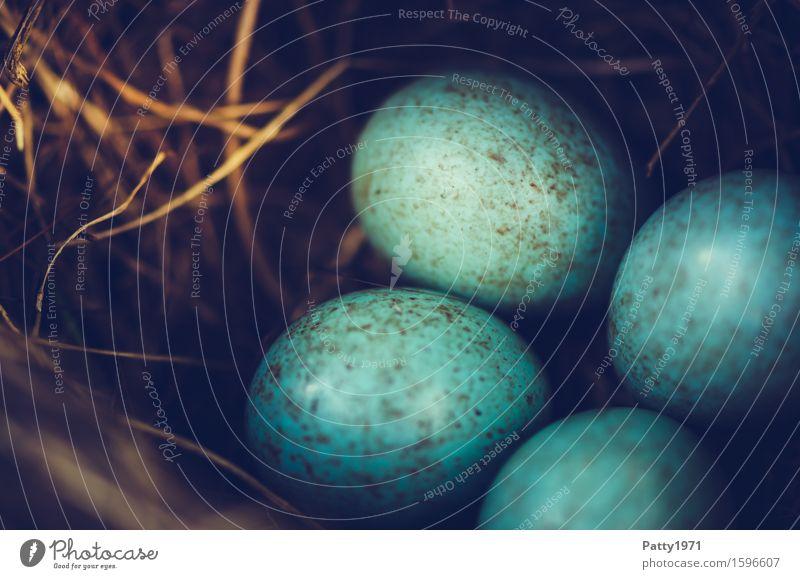 blackbird's nest Easter Environment Animal Bird Blackbird Egg Bird's eggs Nest Round Turquoise Protection Safety (feeling of) Warm-heartedness Together