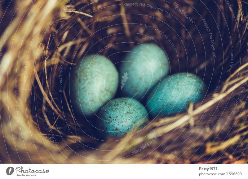 blackbird's nest Easter Environment Animal Bird Blackbird Egg Bird's eggs Nest Brown Turquoise Protection Safety (feeling of) Warm-heartedness Together