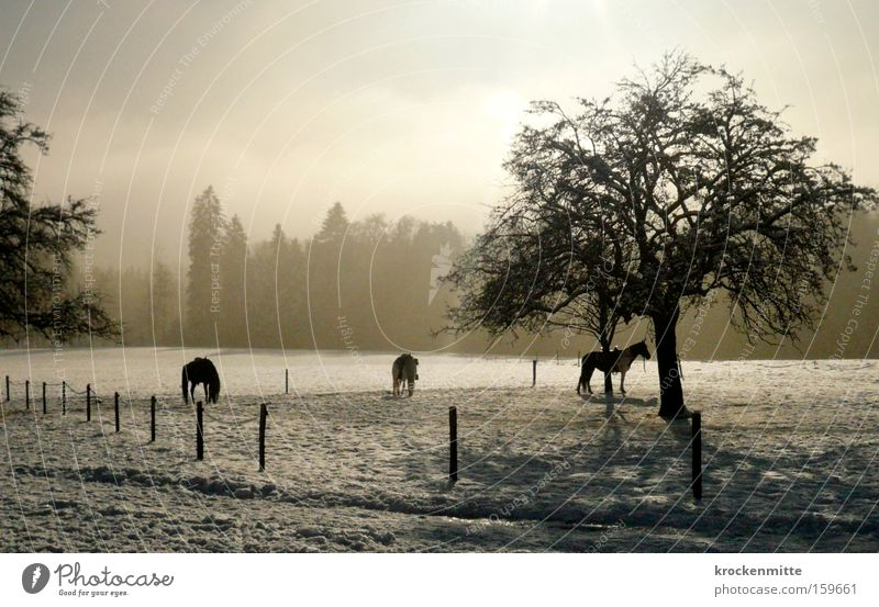 horse whispering Horse Tree Forest Equestrian sports Ride Fence Snow Winter Fog Haze 3 Animal Pasture Switzerland Landscape Back-light To feed Mammal stable