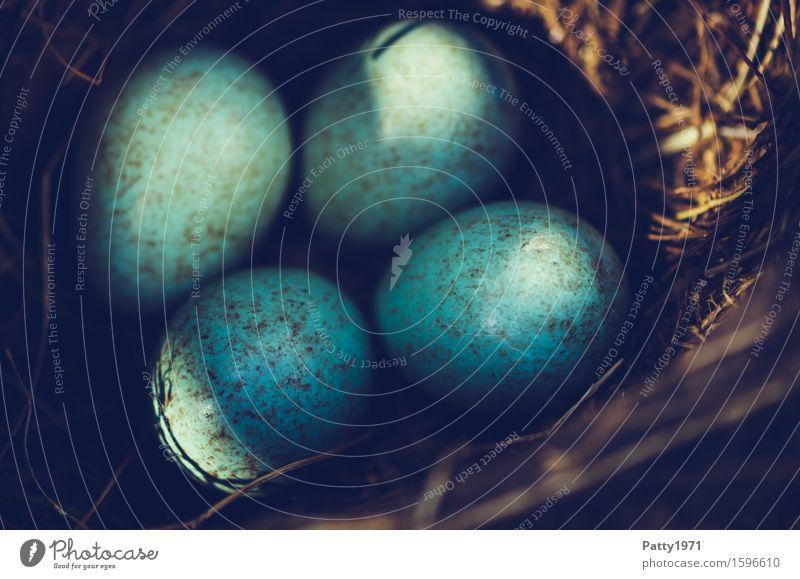 blackbird's nest Easter Environment Animal Bird Blackbird Egg Bird's eggs Nest Round Turquoise Protection Safety (feeling of) Warm-heartedness Together Romance