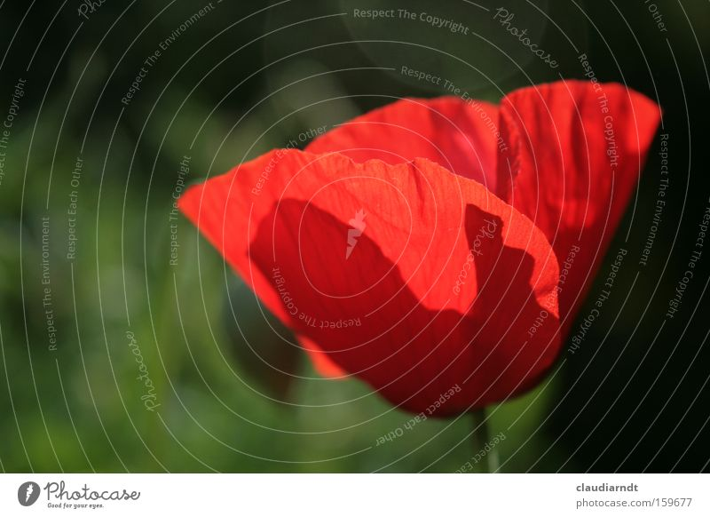 Flower Plant Red Summer Blossom Force Delicate Blossoming Poppy Transparent Poppy blossom