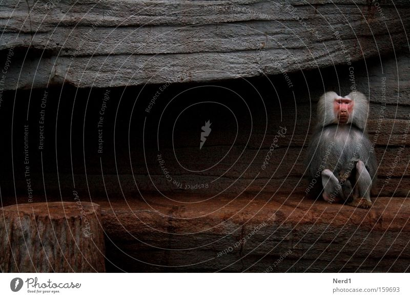 Calm Loneliness Gray Stone Sadness Sit Pelt Zoo Individual Boredom Mammal Captured Motionless Monkeys Stagnating