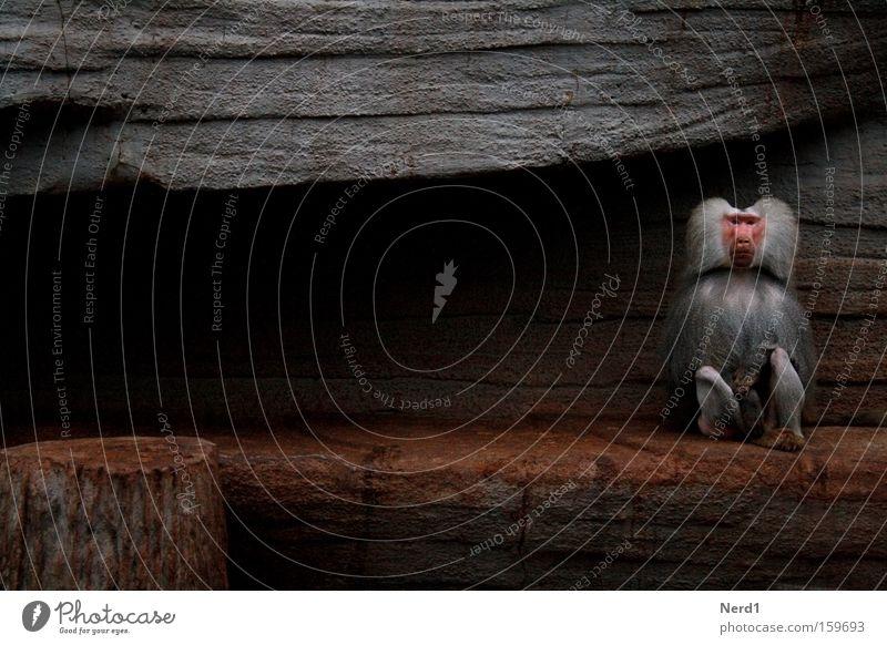 Calm Loneliness Gray Stone Sadness Sit Pelt Zoo Individual Boredom Mammal Captured Motionless Monkeys Stagnating