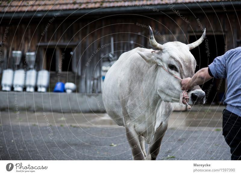 Tradition Cow Farmer Milk Cattle Barn Milk churn Cow bell