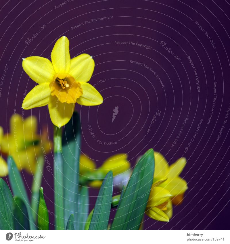 Nature Plant Flower Blossom Garden Park Seasons Floristry Horticulture Congratulations Narcissus Wild daffodil
