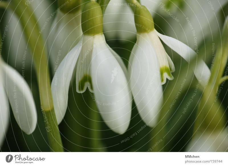 White Flower Green Plant Blossom Spring Open Transience Fragrance Snowdrop Calyx Spring flower
