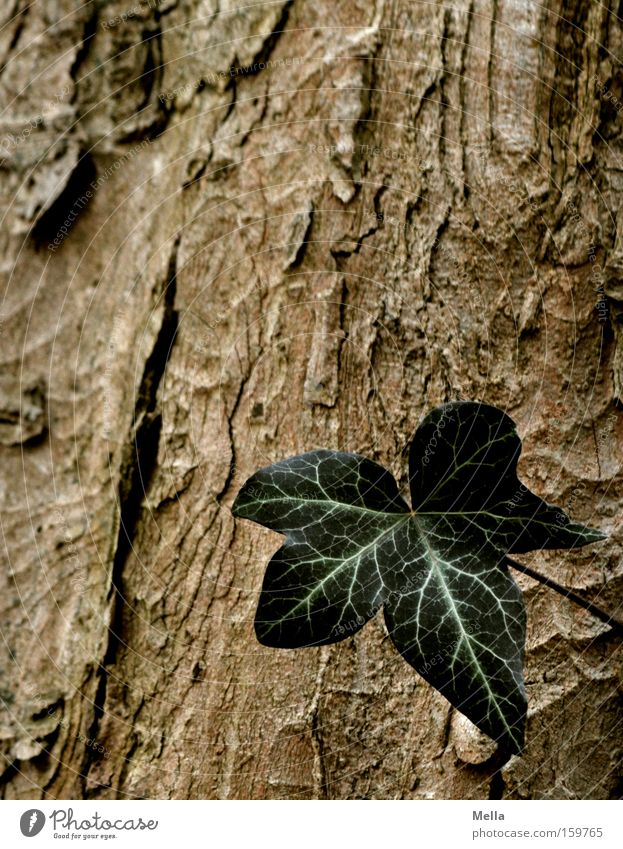 one Ivy Leaf Tree bark Tree trunk Green Brown Individual Loneliness Single Growth Flourish