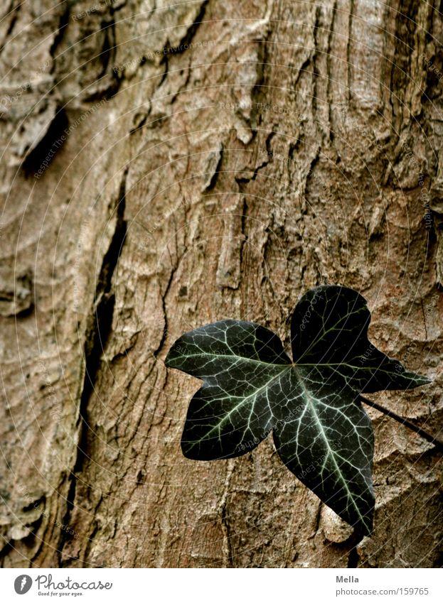 Tree Green Leaf Loneliness Brown Growth Tree trunk Individual Tree bark Ivy Single Flourish