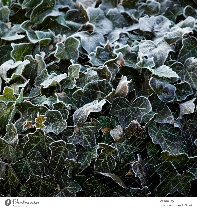 ivy Ivy Plant Ice Frozen Hoar frost Winter December January Cold Green Nature Organic farming Leaf Background picture Structures and shapes Bordered