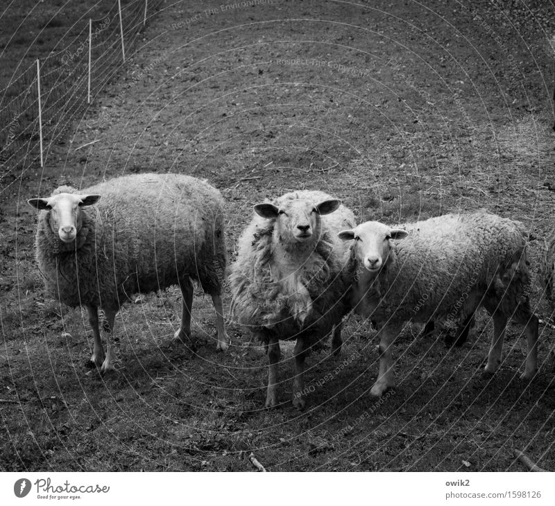Software Environment Nature Animal Grass Pasture Fenced in Surround Sheep 3 Observe Looking Stand Curiosity Friendship Considerate Bushy Together Attachment