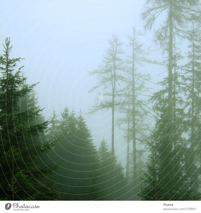 cloud forest Forest Fog Haze Tree Nature Fir tree Spruce Coniferous forest Tree trunk Branch Twig Bleak Dark Winter