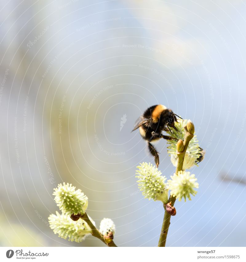The Artist Nature Spring Plant Tree Blossom Willow-tree Catkin Park Animal Wild animal Insect Bumble bee 1 Small Blue Brown Yellow Green Orange Black White