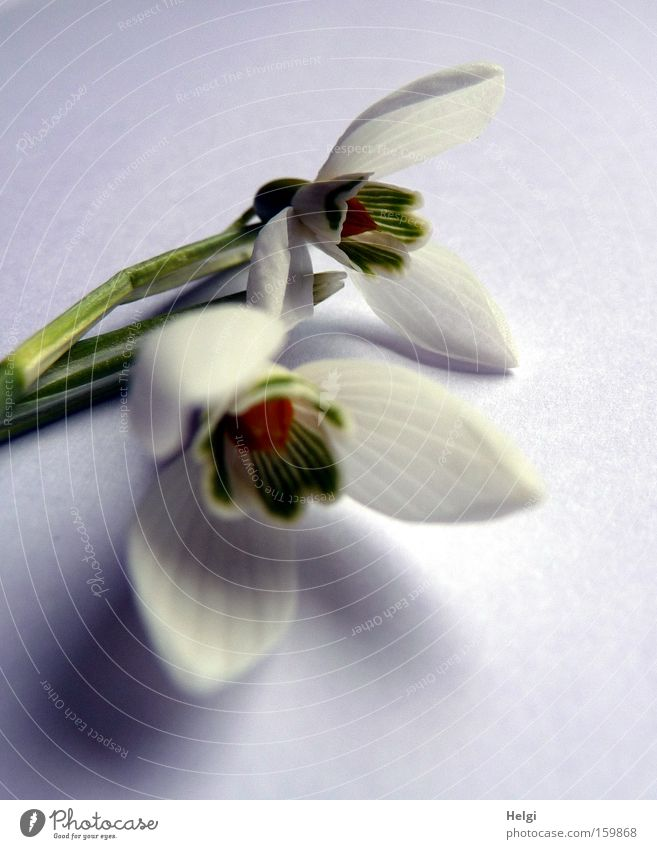 Snowdrops II Flower Blossom Spring Blossoming White Green Nature Plant Stalk Close-up Esthetic Transience Macro (Extreme close-up) Helgi