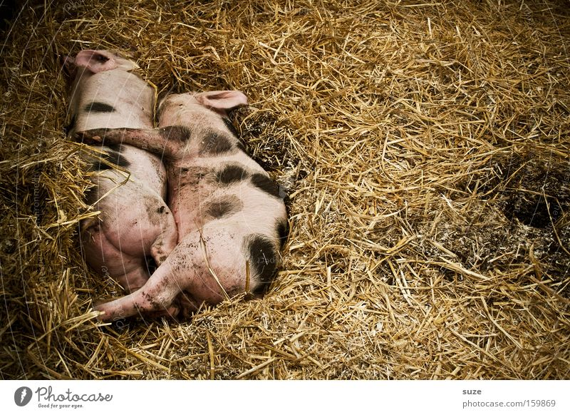 pigs' EIRY Organic produce Happy Well-being Animal Farm animal Swine Piglet 2 Pair of animals Sleep Pink Love of animals Bristles Speckled Straw Barn