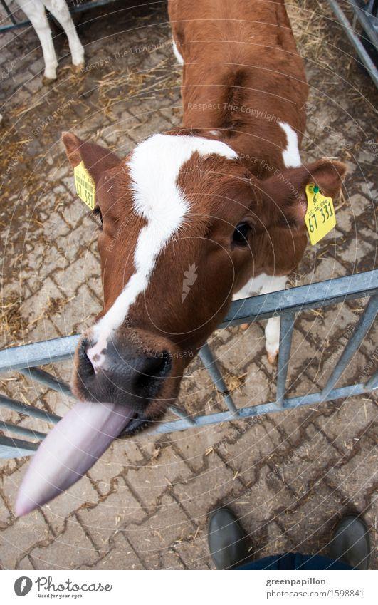 Bööööh - Calf sticks out tongue Milk Agriculture Forestry Nose Tongue Pet Farm animal Cow Cattle Beautiful Brown Livestock Cattle breeding Cattle farming