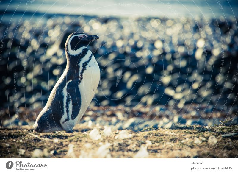 beach butler Coast Animal Penguin 1 Observe Stand Wait Elegant Cold Curiosity Patagonia Copy Space right Animal portrait