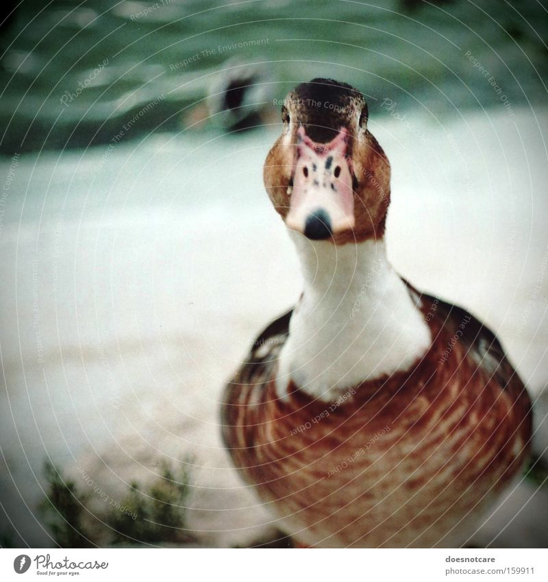 watcha lookin at? Animal Pond Farm animal Wild animal Bird 1 Brown White Analog Duck Goose Colour photo Exterior shot Copy Space left Day Shallow depth of field