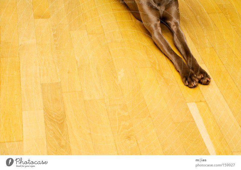 Dog Yellow Warmth Wood Brown Floor covering Stripe Pelt Parallel Pet Mammal Paw Anonymous Parquet floor Weimaraner