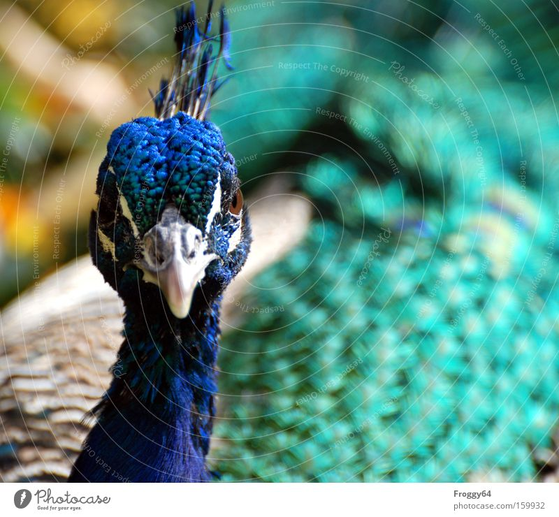 Beautiful Blue Eyes Head Bird Soft Feather Wing Delicate India Neck Beak Peacock Animal