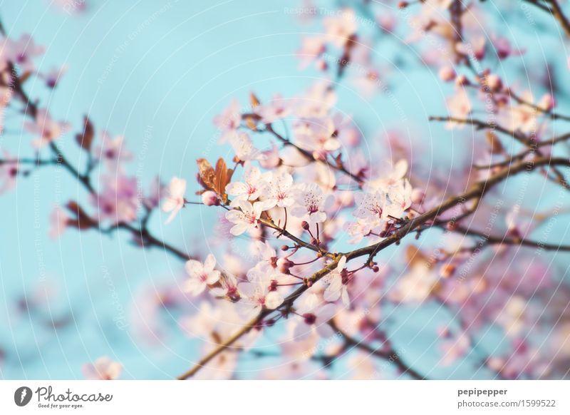 Sky Nature Plant Blue Blossom Spring Garden Pink Park Blossoming Wild plant Cherry blossom