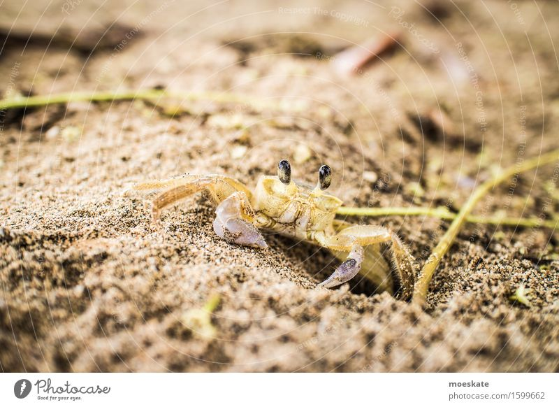 Crab on the beach Beach Animal 1 Brown Costa Rica Shrimp Colour photo Subdued colour Exterior shot Close-up Detail Macro (Extreme close-up) Day