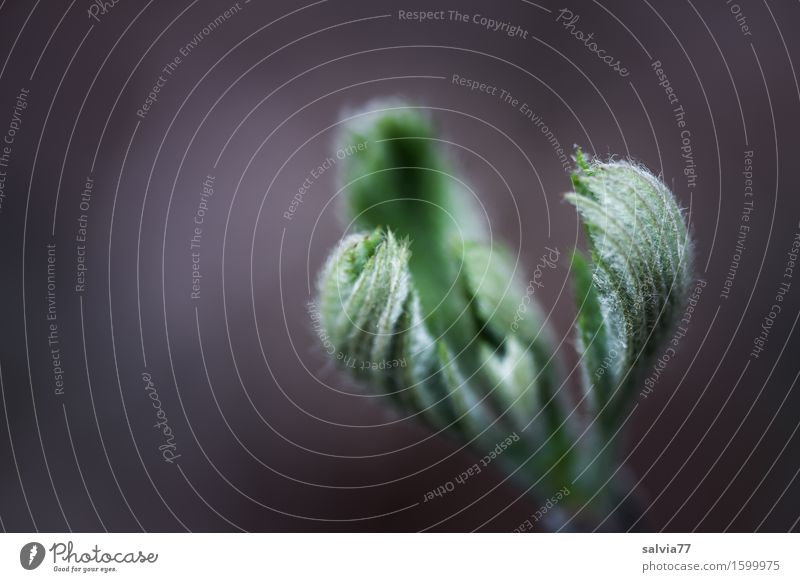 gentle claw Nature Plant Spring Leaf Leaf bud Bud Forest Esthetic New Soft Gray Green Life Hope Belief Beginning Uniqueness Growth Undo Sprout Vigor Hair