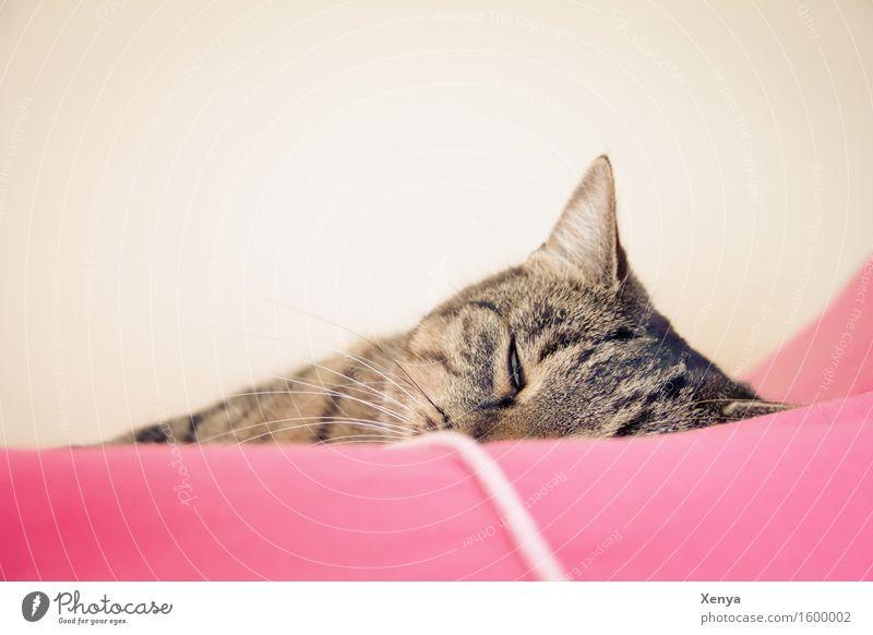 Cat sleeping Animal Pet 1 To enjoy Sleep Pink Safety (feeling of) Dream Doze Calm Tiger skin pattern Interior shot Copy Space top Light Animal portrait