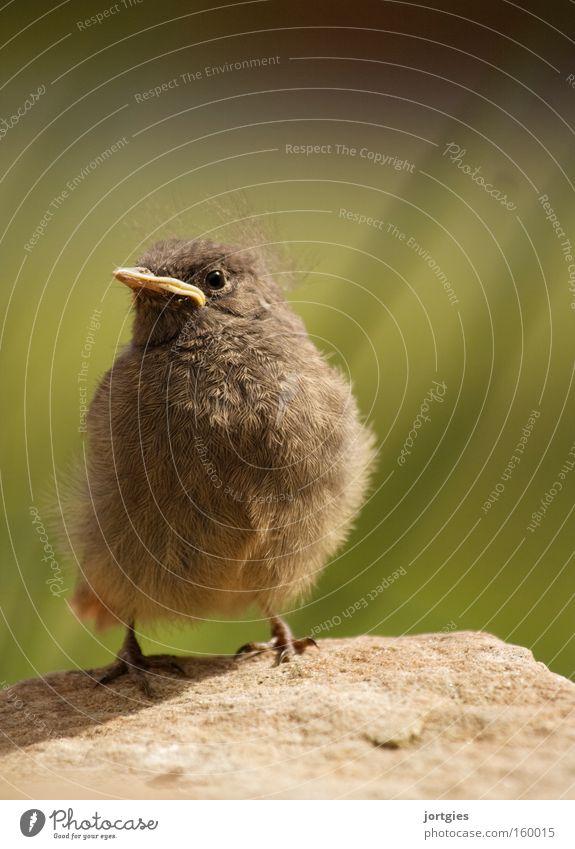 Bird Success Pride Conceited Chick Animal Redstart