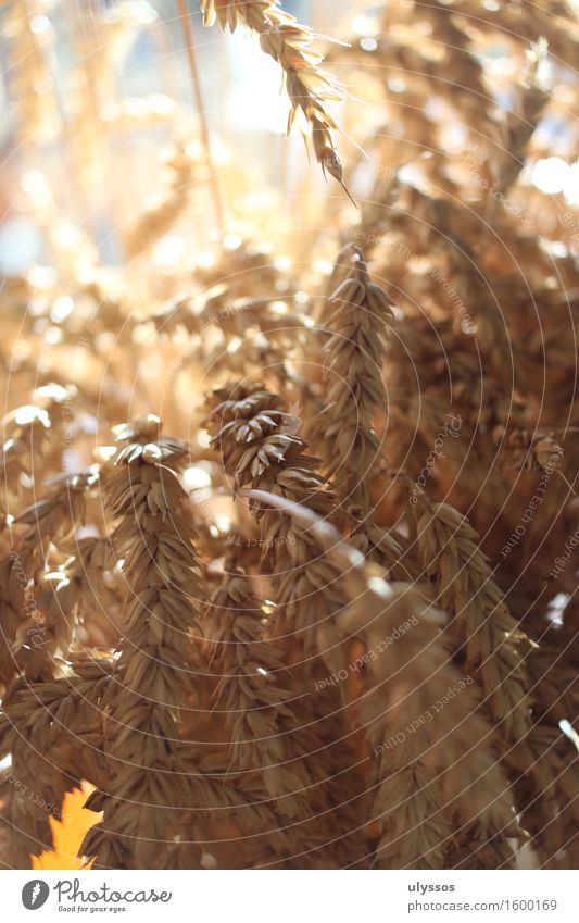 thanksgiving Summer Nature Plant Sunlight Agricultural crop Grain fertility Dry Warmth Yellow Gold Moody Tradition Environment Colour photo Interior shot