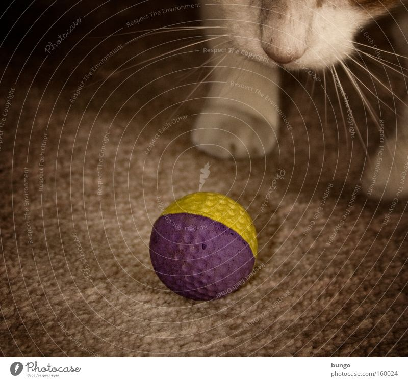 Cat Animal Playing Nose Ball Mammal Paw Carpet Romp Ball sports Play instinct