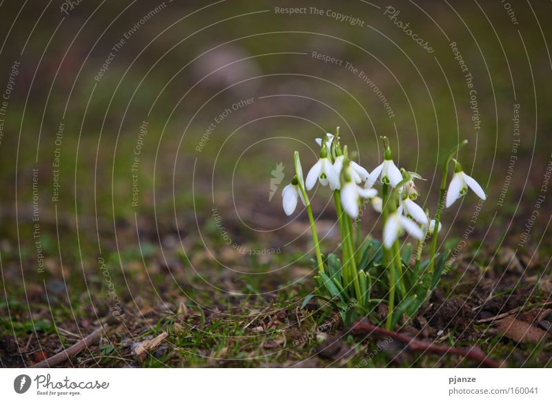 Hello. Snowdrop Delicate Plant Blossom White Fragrance Spring Grass Meadow Joy Exterior shot galanthus Bouquet Earth