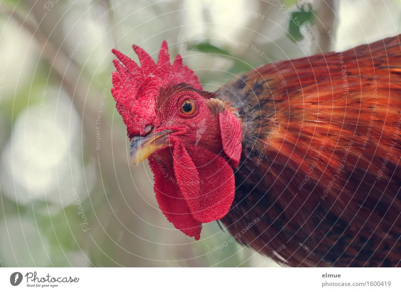 Where's Adele? Rooster chicken birds Feather Poultry Cockscomb Ghosts & Spectres  red head Rutting season Looking Aggression Threat Rebellious Wild Red