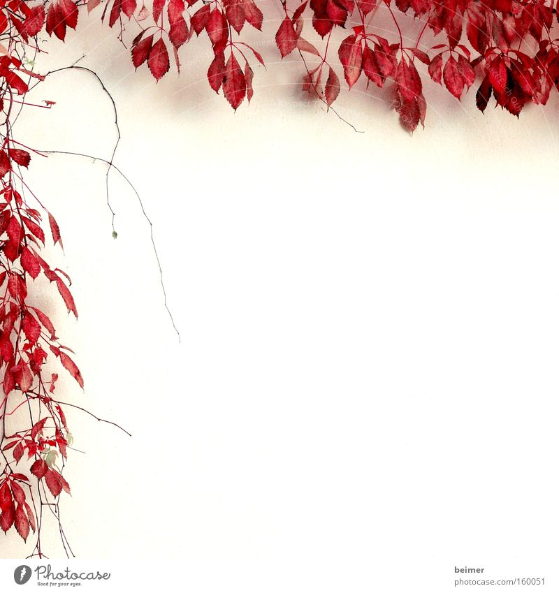 Nature Plant Red Leaf Autumn Wall (building) Background picture Growth Delicate Frame Tendril Bordered Creeper