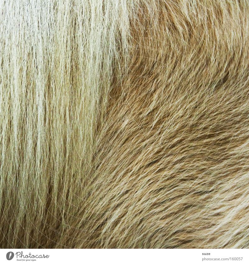 Thick fur Animal Wild animal Horse 1 Bright Cuddly Soft Protection Pony Mane Winter pelt Mammal Slick Pelt Beige Colour photo Subdued colour Interior shot