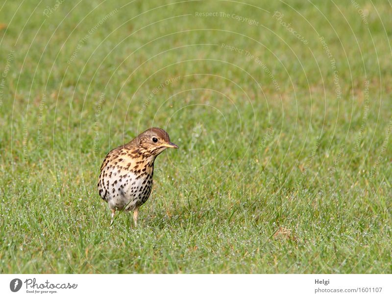 in search of breakfast... Environment Nature Landscape Plant Animal Spring Beautiful weather Grass Garden Wild animal Bird Throstle 1 Looking Stand Authentic