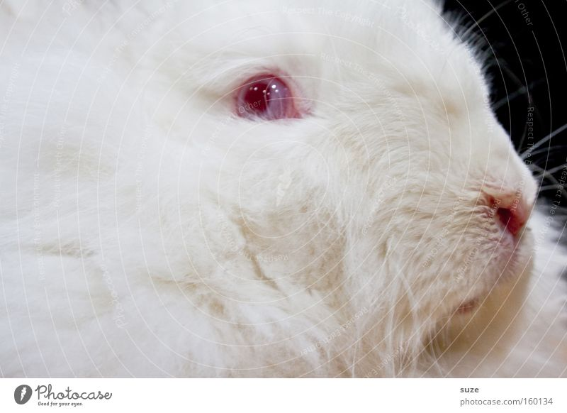 White Red Animal Eyes Crazy Nose Soft Pelt Pet Mammal Hare & Rabbit & Bunny Magic Livestock breeding Roast Easter Bunny Scaredy-cat