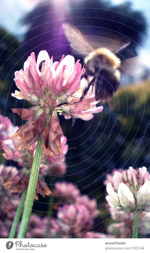 Sun Summer Flower Meadow Spring Work and employment Flying Insect Bee Hover Haste Diligent Bumble bee Clover