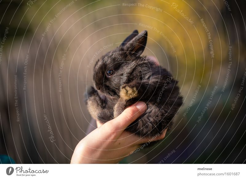 little rascal Girl Hand Fingers 1 Human being 8 - 13 years Child Infancy Pet Pelt Paw Pygmy rabbit baby hare Rodent Mammal Animal face Baby animal Sunbathing