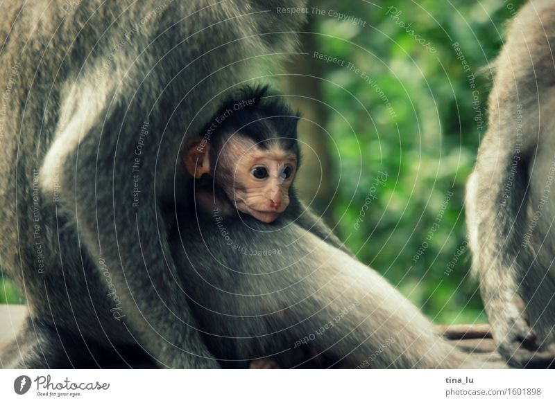 Green Animal Face Baby animal Love Gray Brown Wild animal Group of animals Asia Safety (feeling of) Monkeys Bali Indonesia Animal family