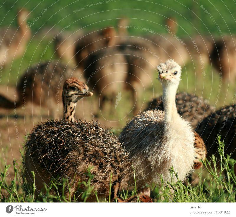 Animal Bird Group of animals Joie de vivre (Vitality) Large-scale holdings Livestock breeding Ostrich South Africa Oudtshoorn