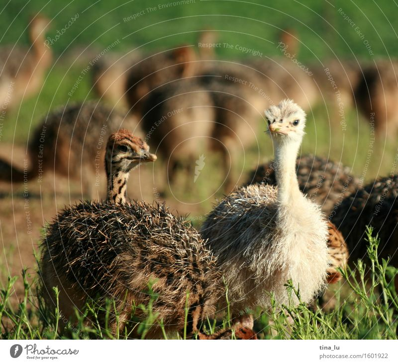 ostriches Animal Ostrich Bird Large-scale holdings Livestock breeding Group of animals Joie de vivre (Vitality) South Africa Oudtshoorn Colour photo