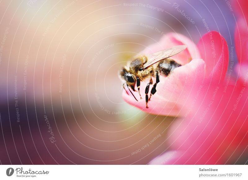 busy bee Animal Wild animal Bee 1 Work and employment Flying Crawl Sustainability Natural Violet Pink Spring fever Beautiful Diligent Endurance Effort Honey