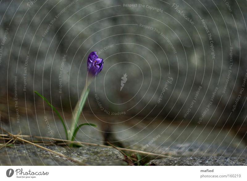 Survival of the Fittest Flower Crocus Stone Granite Survive Conquer Resist Barrier Spring Power Force Column