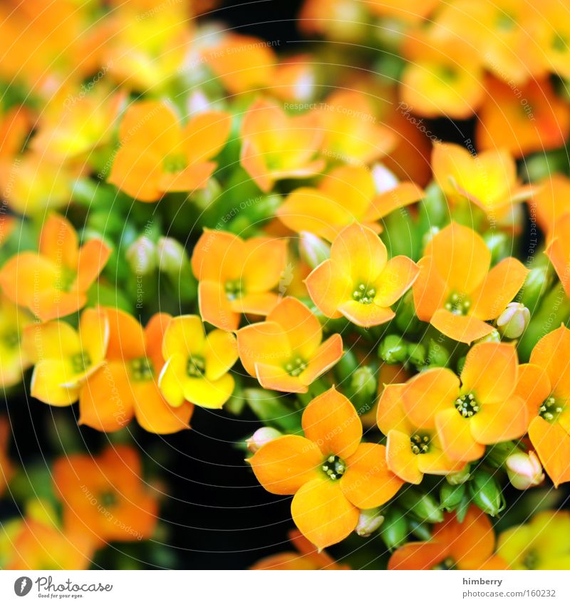 time of our lives Flower Nature Spring Fresh Horticulture Plant Botany Background picture Floristry Blossom Houseplant kalanchoe