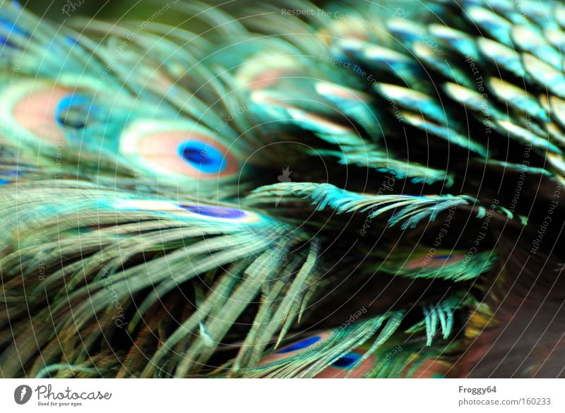 plumage Bird Peacock Blue Feather Wing Neck Head Delicate Soft Back Spring India
