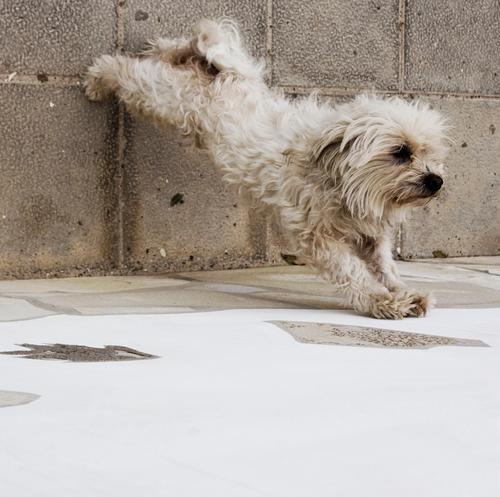 Belly, leg, bottom. Dog Cute Gymnastics Funny Animal Fitness Pet Stretching Movement Pelt Yorkshire terrier Mammal Watchdog Comical Dearest Athletic Articulated