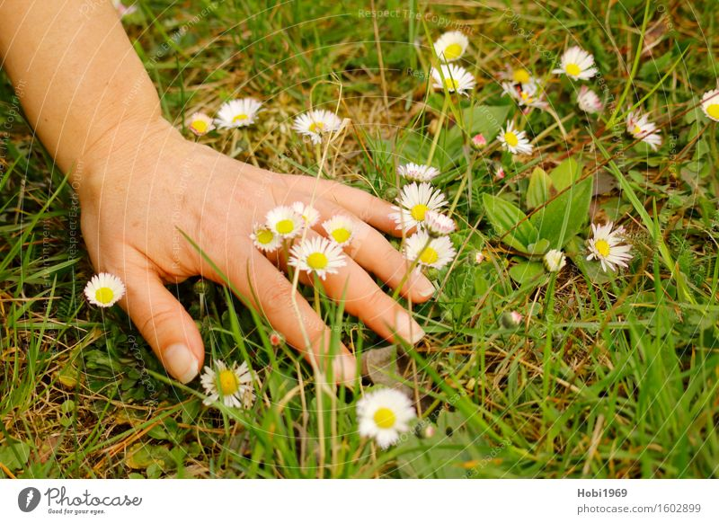 A woman's hand in a flower meadow Feminine Adults Skin Hand Plant Spring Flower Grass Foliage plant Blossoming Pick Daisy Colour photo Exterior shot Close-up